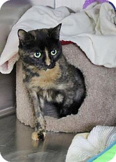 Domestic Shorthair Cat for adoption in Port Hope, Ontario - Roxy