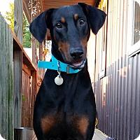 Adopt A Pet :: Stealer--pending - New Richmond, OH