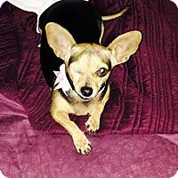 Adopt A Pet :: Siya - Windermere, FL