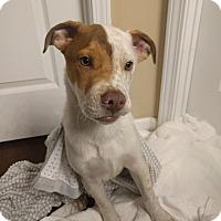 Adopt A Pet :: NUBBINS - Nashville, TN