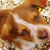 Adopt A Pet :: Freckles 2 - Pipe Creek, TX
