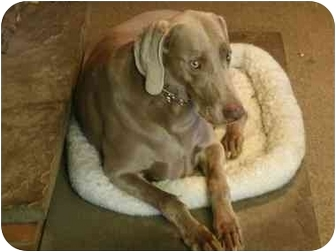 Weimaraner Dog for adoption in Attica, New York - Harper