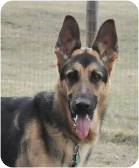 German Shepherd Dog Dog for adoption in Hamilton, Montana - Shade