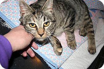 American Shorthair Kitten for adoption in Kalispell, Montana - Gidget