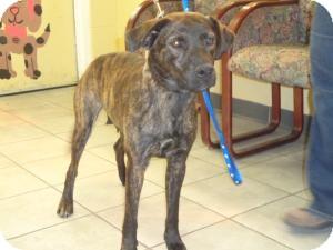 Labrador Retriever Mix Dog for adoption in Crawfordville, Florida - Haley