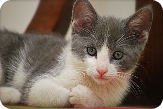 Domestic Shorthair Kitten for adoption in Trevose, Pennsylvania - Barney