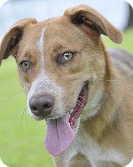 Blue Heeler/Australian Cattle Dog Mix Dog for adoption in Norwalk, Connecticut - Dakota - cats ok!