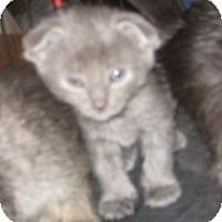 Adopt A Pet :: Mayhem - Dallas, TX