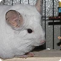 Adopt A Pet :: Snowball - Titusville, FL