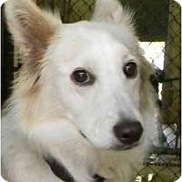 Adopt A Pet :: Callie - Alexandria, VA