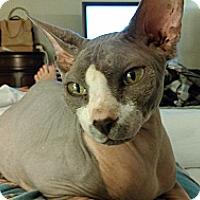 Adopt A Pet :: Piglet - Morgan Hill, CA