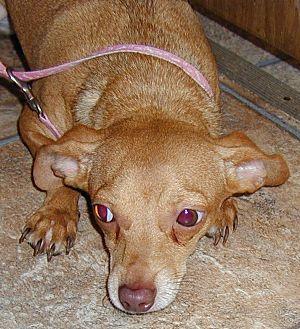 Chihuahua/Dachshund Mix Puppy for adoption in Inman, South Carolina - Peanut