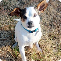 Adopt A Pet :: Tiny Tim - Homewood, AL