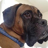 Adopt A Pet :: Captain - Westminster, MD