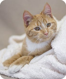 Domestic Shorthair Cat for adoption in Washburn, Wisconsin - Red Rover