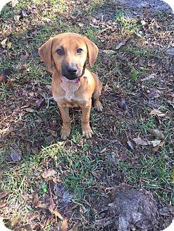 Beagle Mix Puppy for adoption in Jacksonville, North Carolina - Sienna