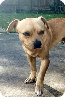 Chihuahua Mix Dog for adoption in Saddle Brook, New Jersey - Luke