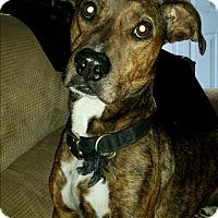 Adopt A Pet :: Tank - grants pass, OR