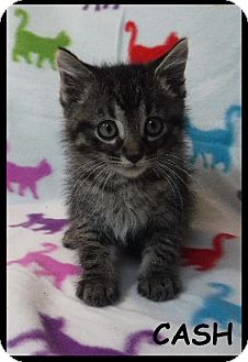 Domestic Shorthair Kitten for adoption in Batesville, Arkansas - Cash