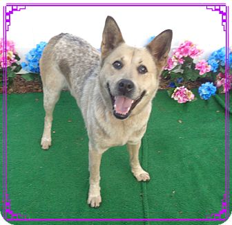 Australian Cattle Dog Mix Dog for adoption in Marietta, Georgia - HUNTER - Adopted @ off-site