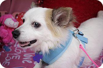 Chihuahua Mix Dog for adoption in Houston, Texas - Hansen