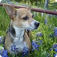 Adopt A Pet :: Audrey - Garland, TX