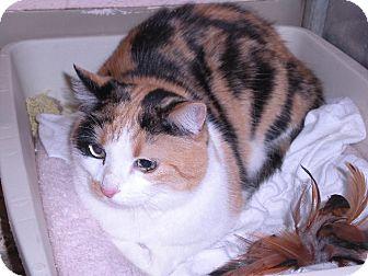 "Calico Cat for adoption in New Castle, Pennsylvania - "" Popcorn """