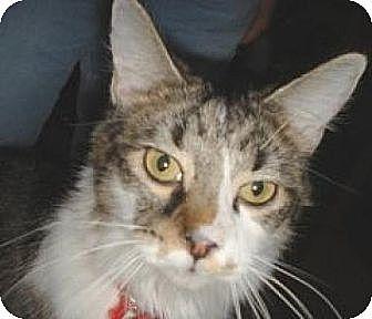 Domestic Mediumhair Cat for adoption in Miami, Florida - Tou-tou