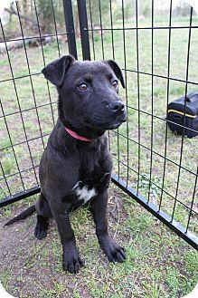 Labrador Retriever Mix Dog for adoption in Waldorf, Maryland - Patty #395