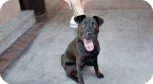 Shepherd (Unknown Type)/Shar Pei Mix Dog for adoption in Las Vegas, Nevada - Juju