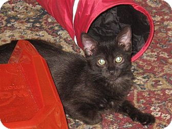 Domestic Shorthair Cat for adoption in Port Republic, Maryland - Shiloh