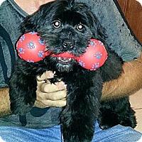 Adopt A Pet :: SPARKY - Pembroke pInes, FL