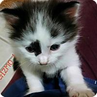 Adopt A Pet :: Gizmo - McDonough, GA