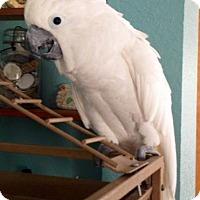 Adopt A Pet :: Kiki - Tampa, FL