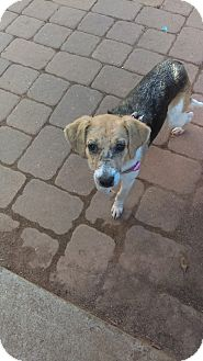 Hound (Unknown Type) Mix Dog for adoption in south plainfield, New Jersey - Greta