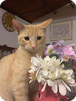 American Shorthair Cat for adoption in Palo Cedro, California - Bailey