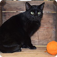 Domestic Shorthair Cat for adoption in Front Royal, Virginia - Kingpin