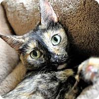 Adopt A Pet :: COCO (Free kit) *DELTONA, FL - New Smyrna Beach, FL