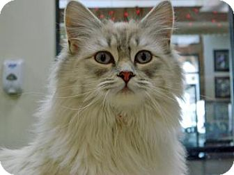 Siamese Cat for adoption in Cheyenne, Wyoming - Ninja