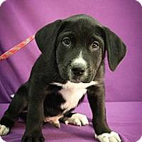 Adopt A Pet :: Slow Joe - Broomfield, CO