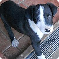 Adopt A Pet :: Julian - dewey, AZ