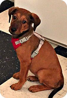 Labrador Retriever/Shepherd (Unknown Type) Mix Puppy for adoption in Boulder, Colorado - Kandice