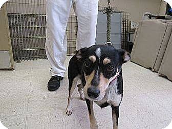 Feist Mix Dog for adoption in Laingsburg, Michigan - Fiona