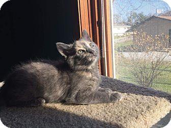 Calico Kitten for adoption in Highland, Indiana - LAVERGNE