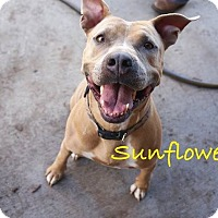 American Staffordshire Terrier Mix Dog for adoption in Myakka City, Florida - Sunny