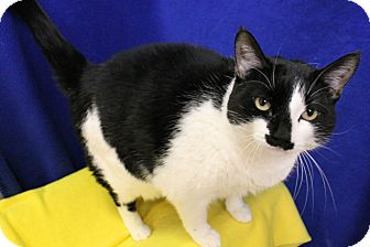 Domestic Mediumhair Cat for adoption in Fountain Hills, Arizona - Mia