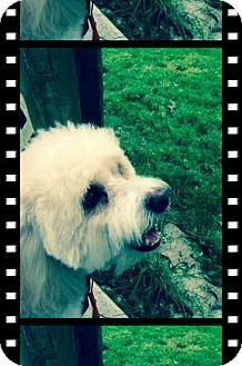 Bichon Frise/Cavalier King Charles Spaniel Mix Dog for adoption in Tulsa, Oklahoma - Rio - OH