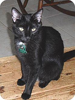 Domestic Shorthair Cat for adoption in Homosassa, Florida - Hollie