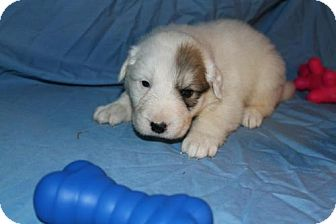 Great Pyrenees Mix Puppy for adoption in Stilwell, Oklahoma - Sawyer