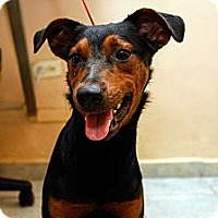 Adopt A Pet :: Sweet Sheton - Brooklyn, NY